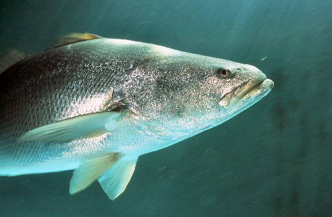 An adult totoaba.