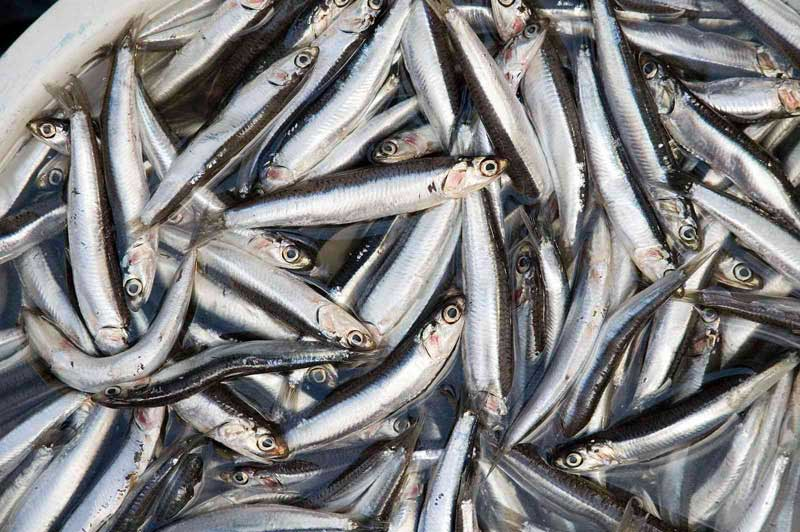 Anchovies_(4122029675)