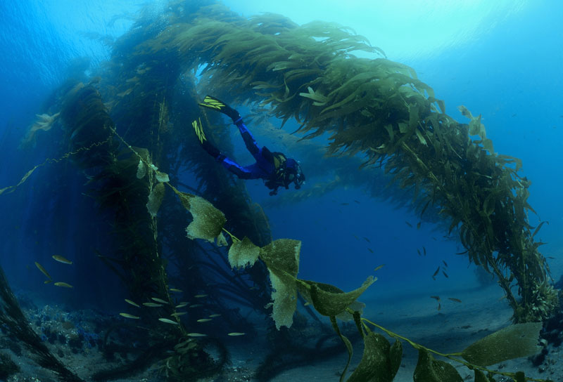 Diver swimming through an archway of kelp. Photo: Joe Dovala