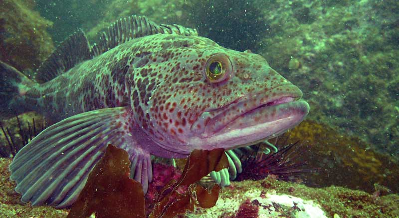 The rocky underwater terrain is the perfect habitat for large ling cod - and there are a lot of them here.