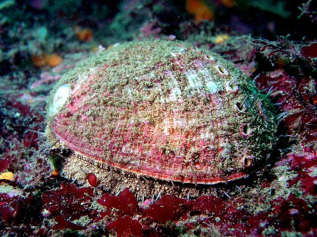 The Abalone Recovery And Management Plan Armp And The