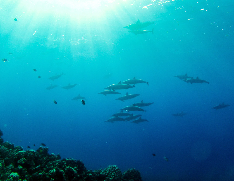 A large pod of Hawaiian Spinner Dolphins swam right through our crew during the first dive at Fish Rock.