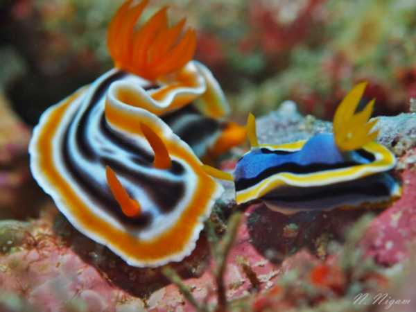 Two species of chromodorids in one shot! Left: Chromodoris colemani Right: Chromodoris annae