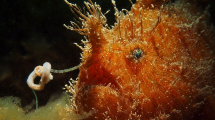 A Hairy Frogfish (Antennarius striatus) whips its lure in hopes of catching lunch