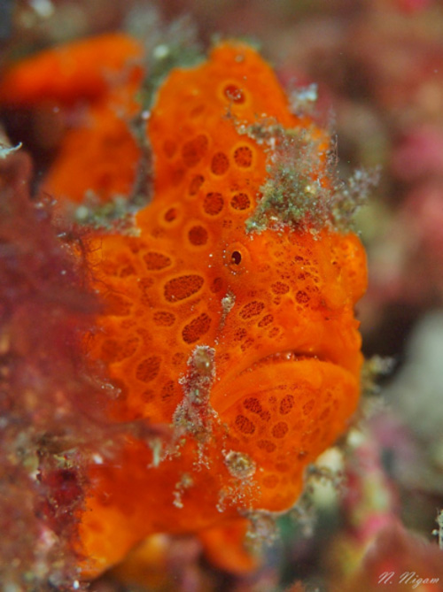 A frogfish (Antennarius pictus) hiding among coral rubble
