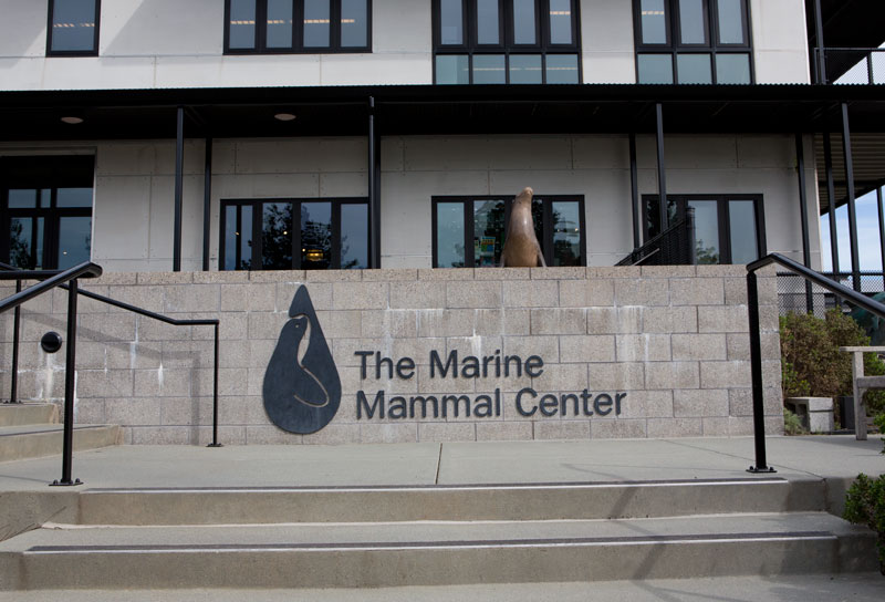 The Marine Mammal Center in Sausalito is one facility rescuing stranded sea lions