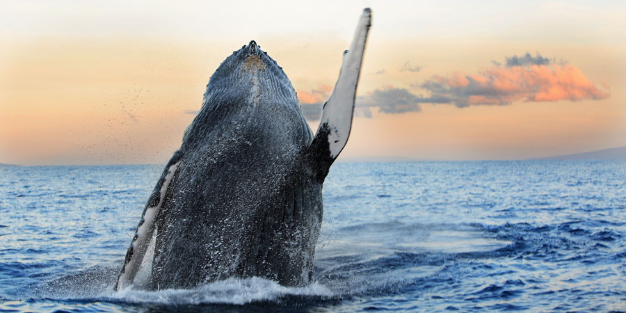 A humpback whale off at sunset in Hawaii.