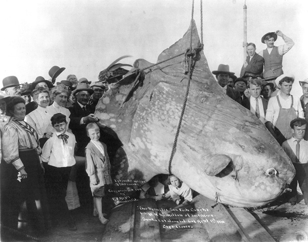 A sunfish caught in 1910, with an estimated weight of 3,500 pounds (Public domain image)