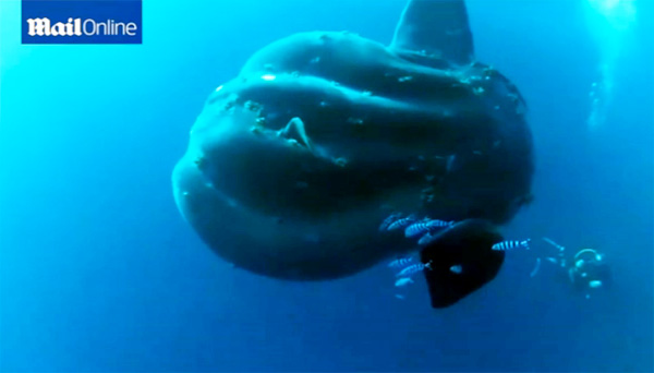 Divers swim with a 3,000 pound sunfish