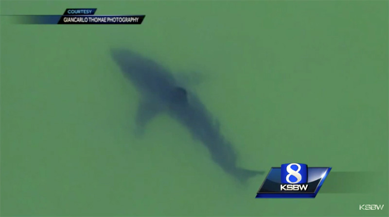 An arial view of the large white shark. Source: YouTube screenshot.