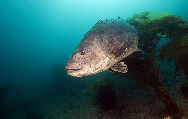 Great Giant Sea Bass Count Begins Next Week: August 1-16 ...
