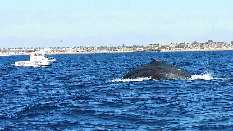 Rescue Team Successfully Frees Southern California Whale ...