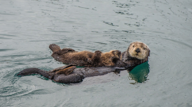 A female adult sea otter with her infant. Photo taken in northern California.