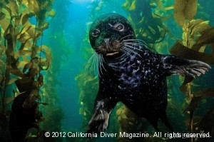 harbor seal-1
