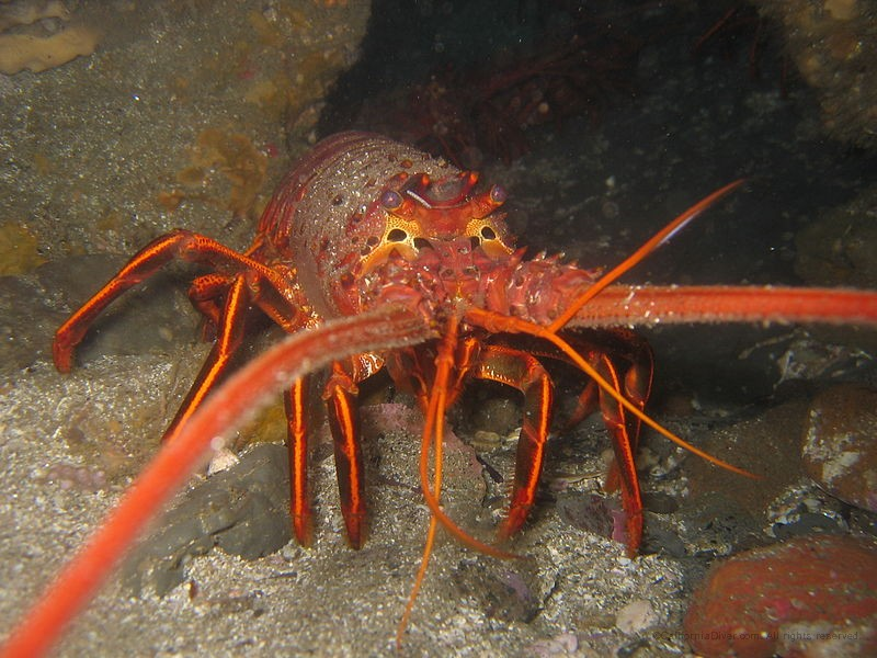 California_spiny_lobster