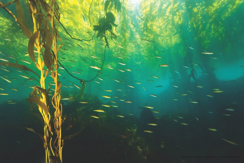 th_Underwater-Monterey-Bay-Kelp-Forest-04
