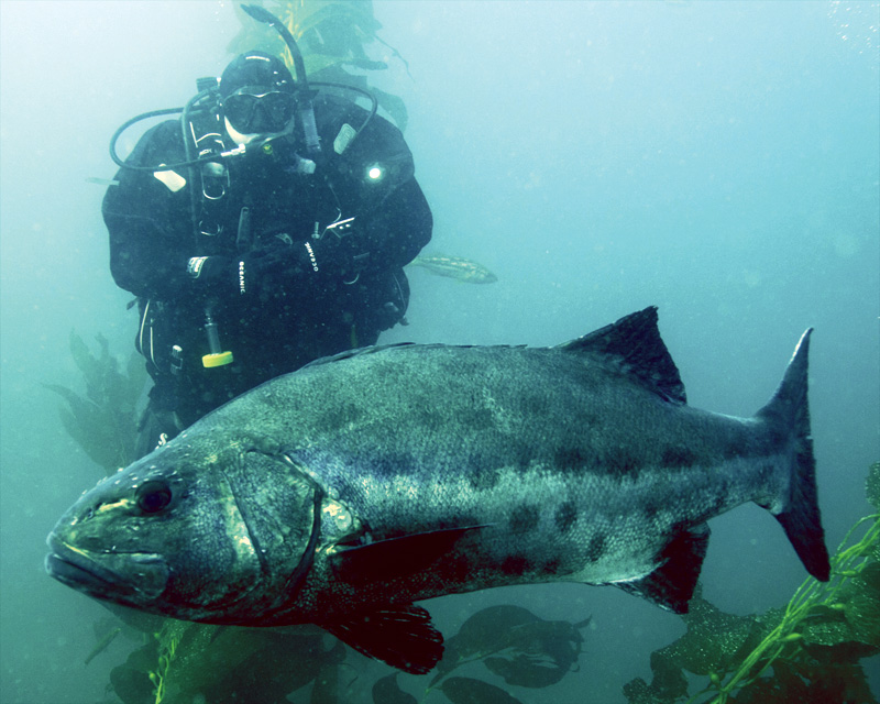 Chris Sweeney and Giant-Black Seabass. Photo by Nichole Sweeney.