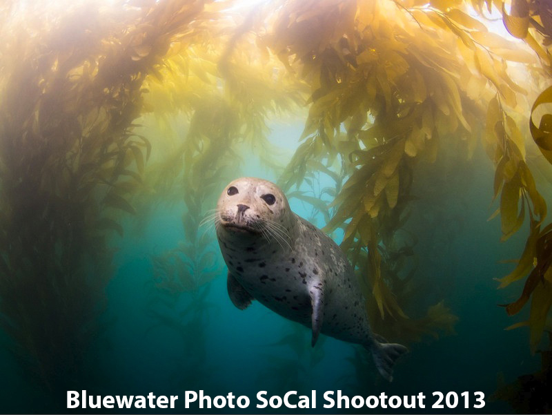 First Place Portrait: Kyle McBurnie - Harbor Seal in Kelp
