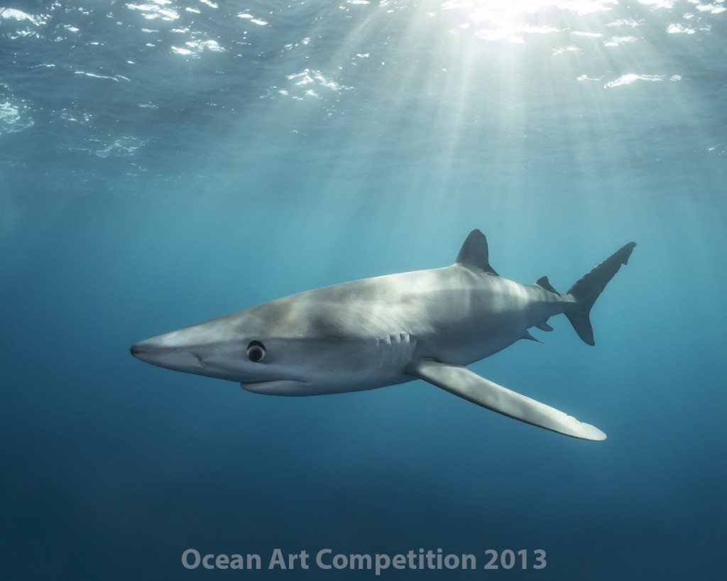 2nd Place Compact Wide-Angle. Mike Couffer. Blue shark under sun rays at 14 Mile Bank in Southern California.