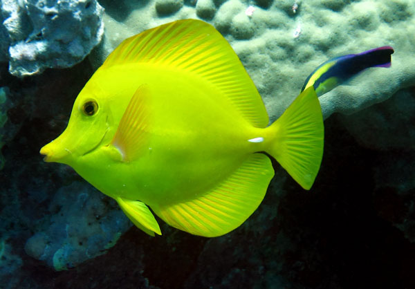 Yellow Hawaiian Tang