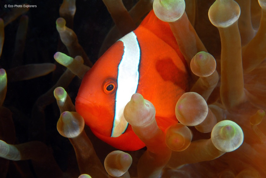 Myriad anemones and anemonefish can be found in these waters, including this Tomato Anemonefish (Amphiprion frenatus).