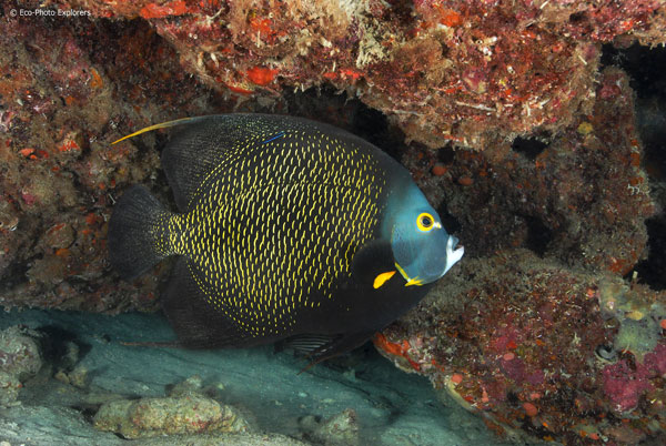 A regal looking French Angelfish (Pomacanthus paru) patrols the wreck