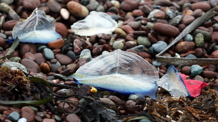 Stranded Velella, on Rodeo Beach in Marin County.
