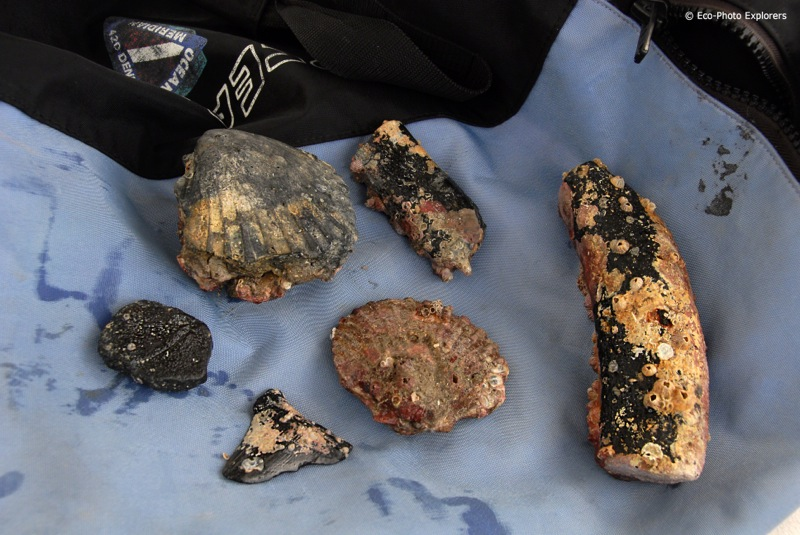 The 1st dive yields Dugong bones, shell castings, turtle shell fragments and a Megalodon tooth.