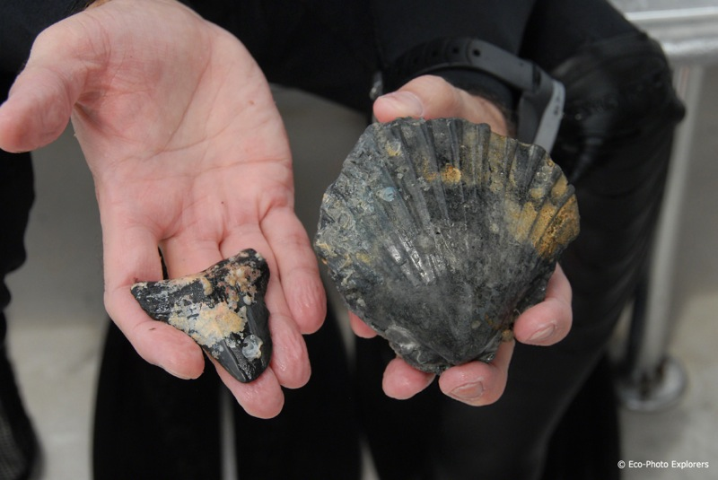 The intact fossil of a bivalve shell casting and a Megalodon tooth.