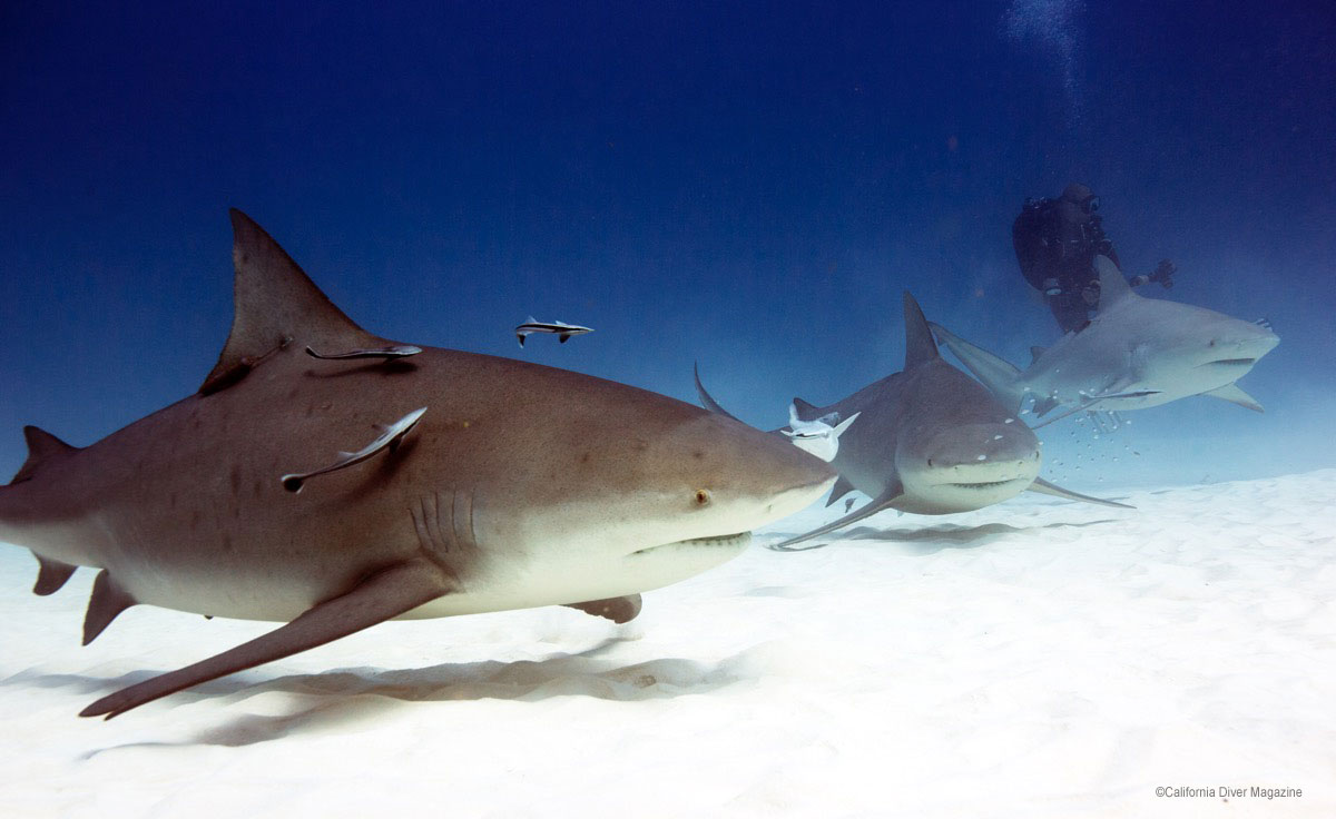 A close pass by one of the larger bull sharks in Playa Del Carmen (Click to enlarge)