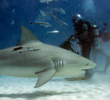 Diving With Bull Sharks Playa Del Carmen Constantine