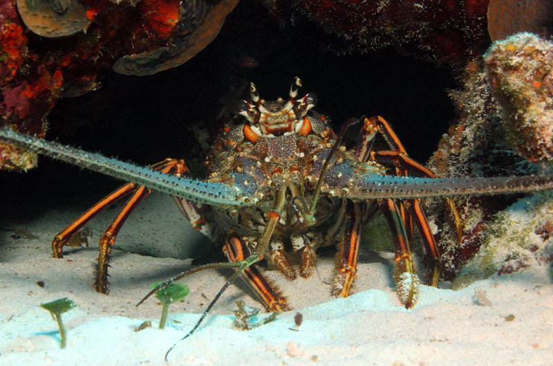 California spiny lobster, Honduras