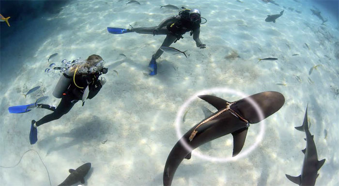 The shark seen with rope around gills. Image source: Video still, YouTube