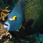 French Angelfish (Pomacanthus paru) are one of the most striking fish on the Aruba reefs