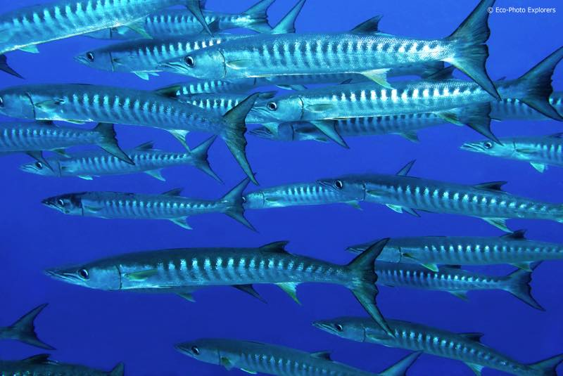 Apo Reef is home to large schools of fish, like these Blackfin Barracuda (Sphyraena barracuda)