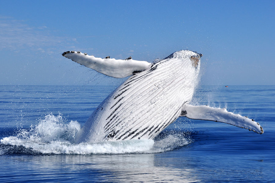 A humpback whale breaches in the Pacific.