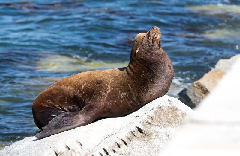 A sea lion watches over the divers from the Monterey Breakwater