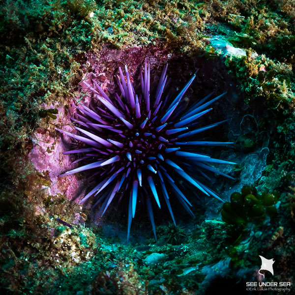A Purple Sea Urchin (Strongylocentrotus purpuratus), sits deep in a burrowed hole on the rocky reef. Areas of the reef were covered in holes ranging from the size of a golf ball, up to a baseball, where urchin spines had carved away at the rock.