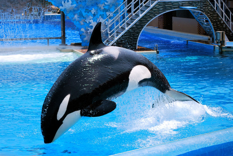 An orca whale performs in captivity.