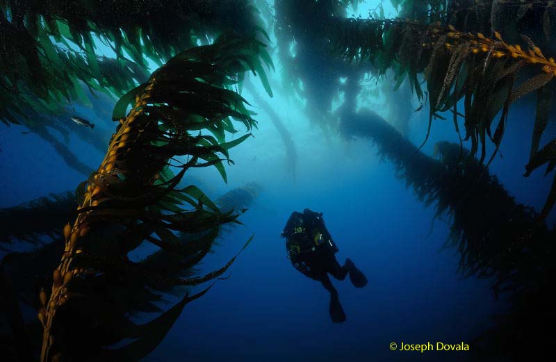 kelp is safe to dive in when done right
