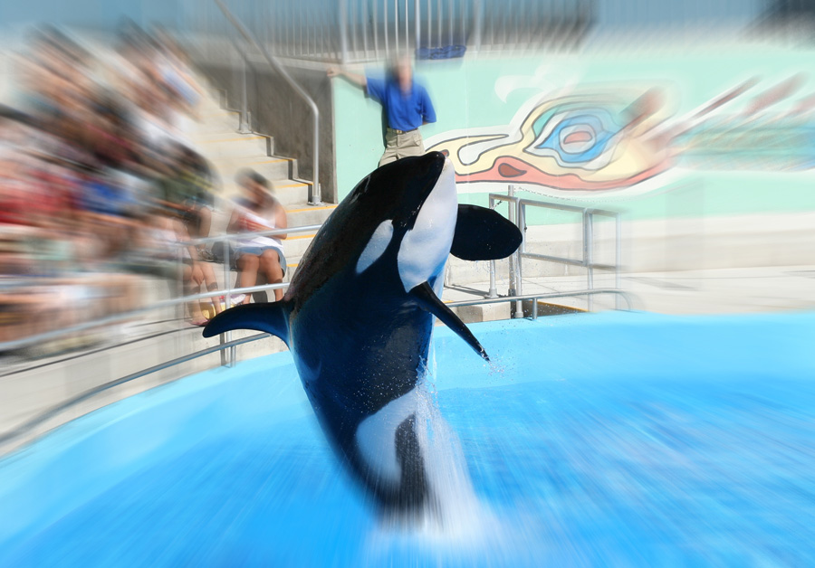 Incidents At Seaworld Parks: Seaworld Announces An End To Breeding Orcas And Whale