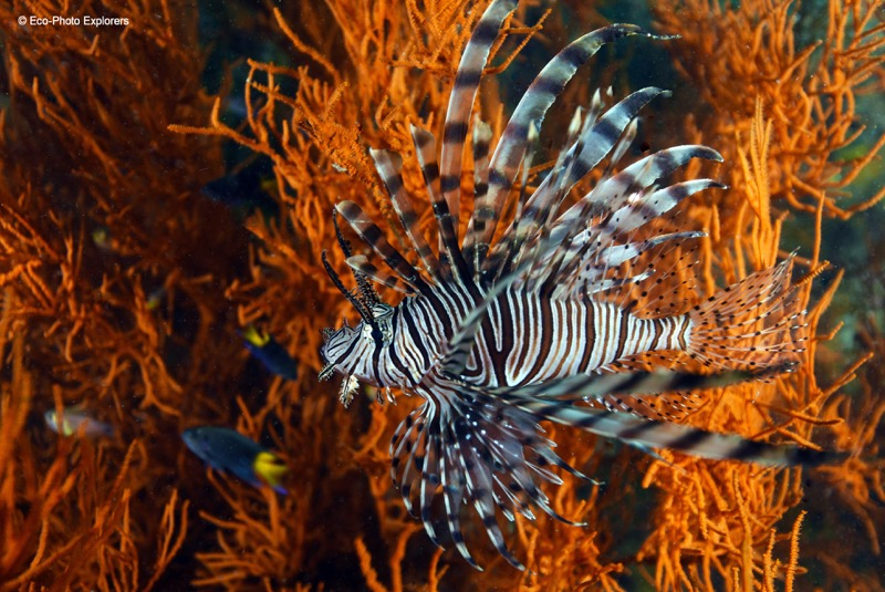 A Lionfish photographed on the Olympia Maru