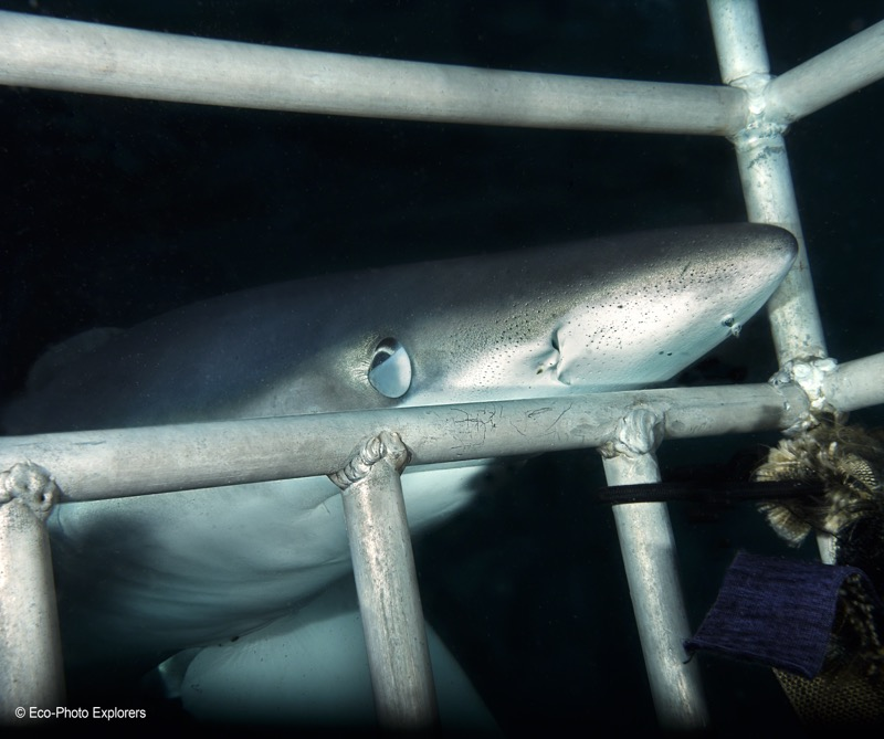Up close and personal with a Blue Shark