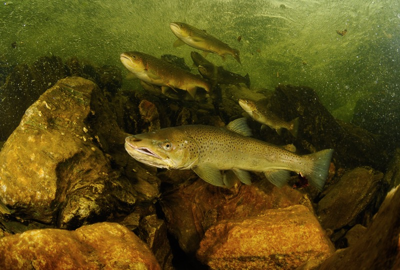 Norwegian Salmon have an irrepressible urge to spawn in the rivers of Norway