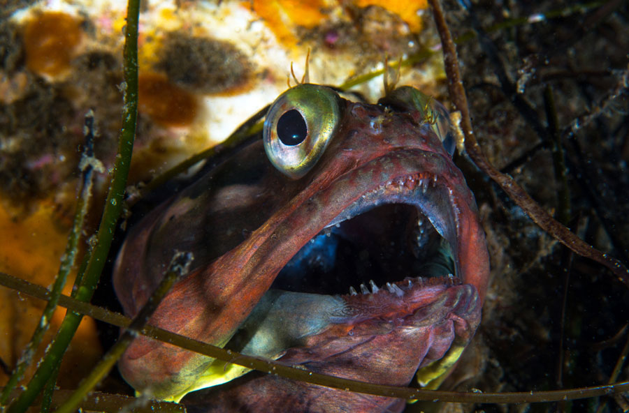 Sacastic Firnge Head Cal Dive Mag 8 24