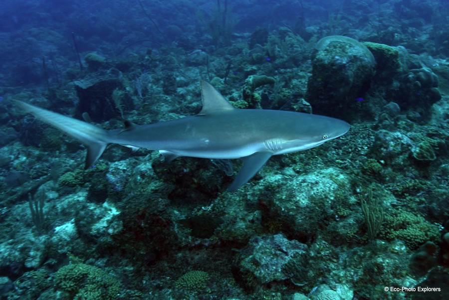 Caribbean Reef Sharks can be encountered on St. Croix's reefs